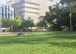 USC kangourou300